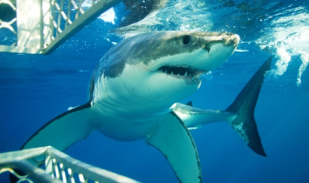 shark-cage-diving-1